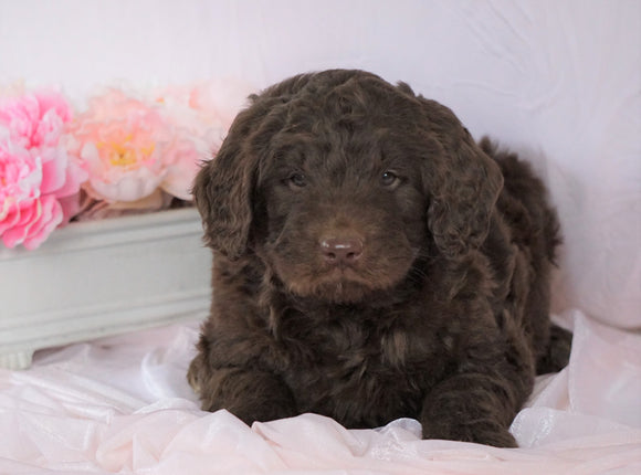 Newfypoo (Standard) For Sale Millersburg, OH Female- Cinderella