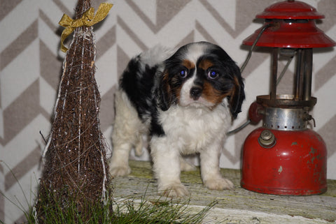 AKC Registered Cavalier King Charles Spaniel For Sale Millersburg, OH Female- Sophie