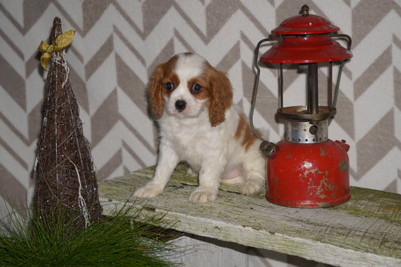 AKC Registered Cavalier King Charles Spaniel For Sale Millersburg, OH Female- Holly