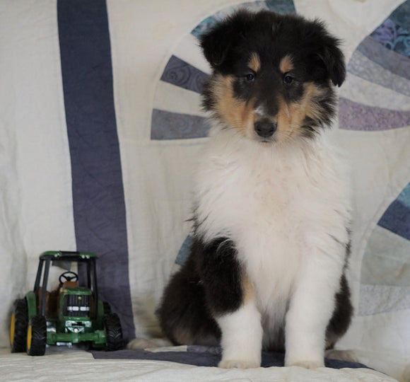Lassie Collie For Sale Fredericksburg, OH Female- Rita