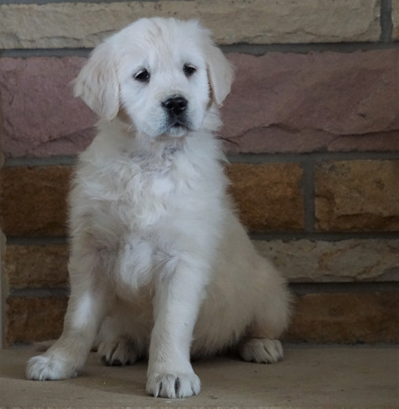 AKC Registered English Cream Golden Retriever For Sale Fredericksburg, OH Female- Juliet