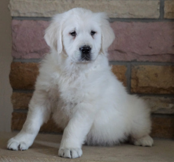 AKC Registered English Cream Golden Retriever For Sale Fredericksburg, OH Male- Romeo