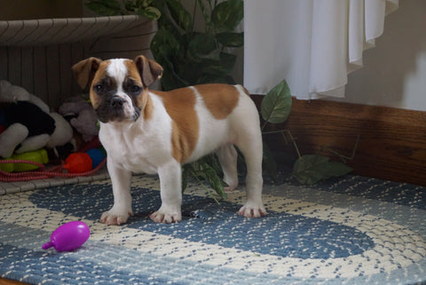 Beabull For Sale Millersburg, OH Male- Jaxson