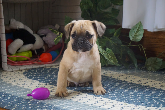 Beabull For Sale Millersburg, OH Male- Jayson