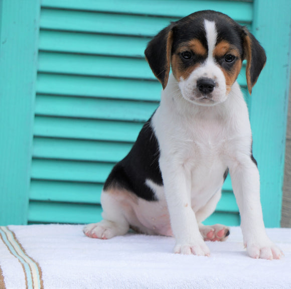 Cavalier/Jack Russel Mix For Sale Holmesville, OH Male- Omar