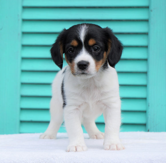 Cavalier/Jack Russel terrier Mix For Sale Holmesville, OH Male- Oscar