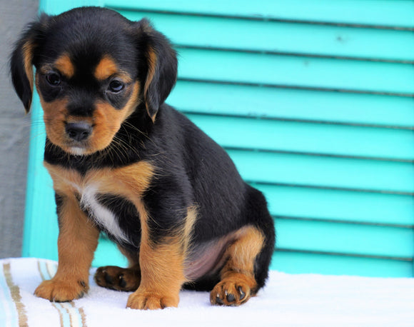 Cavalier/Jack Rusell Terrier Mix For Sale Holmesville, OH Male- Oliver