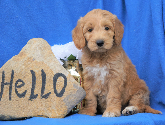 Mini Goldendoodle For Sale Holmesville, OH Male- Baxter