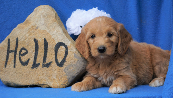 Mini Goldendoodle For Sale Holmesville, OH Female- Missy