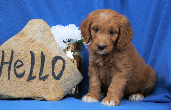 Mini Goldendoodle For Sale Holmesville, OH Male- Bentley