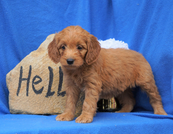 Mini Goldendoodle For Sale Holmesville, OH Female- Gracie