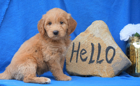 Mini Goldendoodle For Sale Holmesville, OH Female- Abby