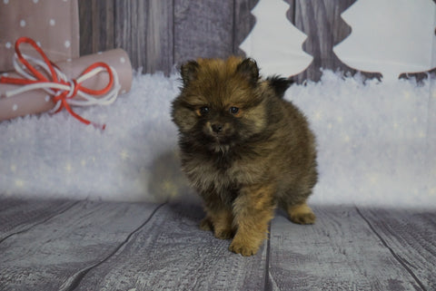 Pomeranian For Sale Fredericksburg, OH Male- Shorty