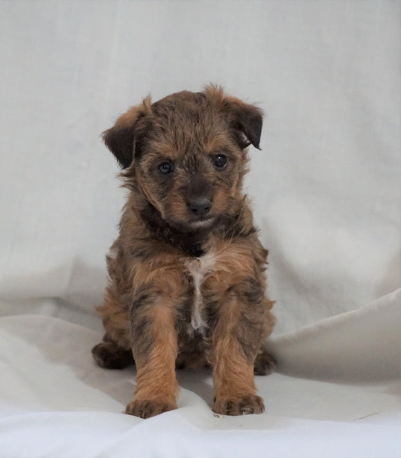 Foodle Puppy For Sale Millersburg, OH Female- Skye