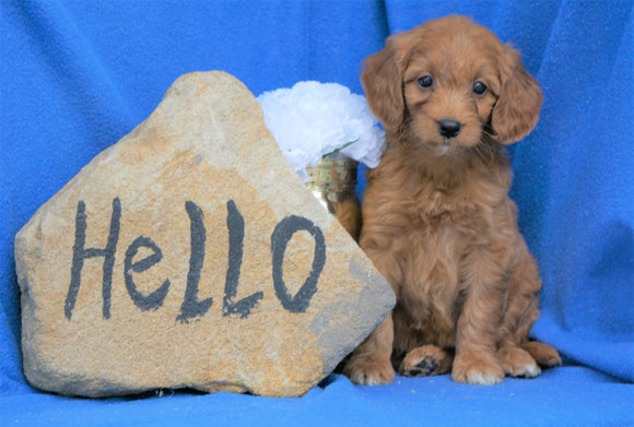 Mini Goldendoodle For Sale Holmesville, OH Female- Macey