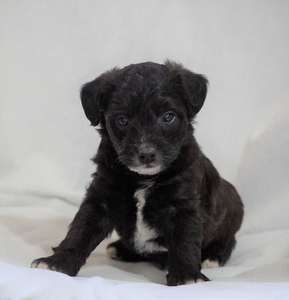 Foodle Puppy For Sale Millersburg, OH Male- Hudson
