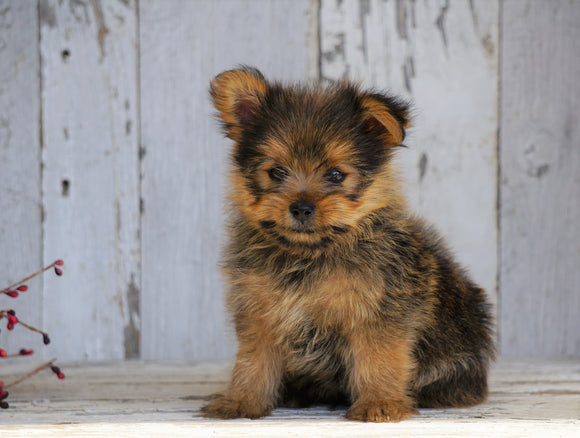Yorkshire Terrier/Pomeranian Mix Puppy For Sale Millersburg, OH Male- Clifford