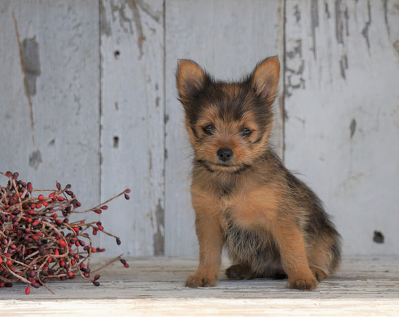 Yorkshire Terrier/Pomeranian Mix Puppy For Sale Millersburg, OH Female- Cinderella