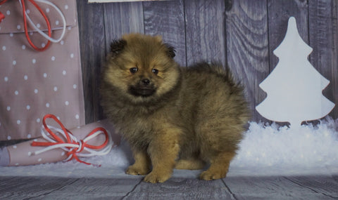 Pomeranian For Sale Fredericksburg, OH Male- Buster