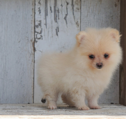 ACA Registered Pomeranian For Sale Millersburg, OH Female- Creamy
