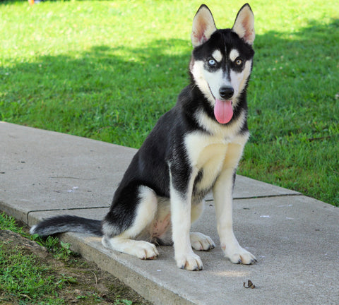 AKC Registered Siberian Husky For Sale Millersburg, OH Female - Jemima
