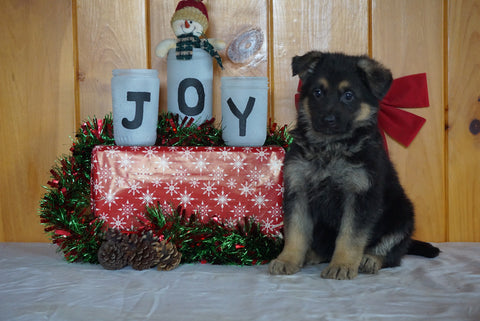 AKC Registered German Shepherd For Sale Millersburg, OH Female- Starlite