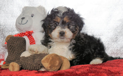 Mini Bernedoodle For Sale Fredericksburg OH, Male - Leo