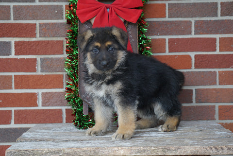 AKC Registered German Shepherd For Sale Millersburg, OH Male- Cummins