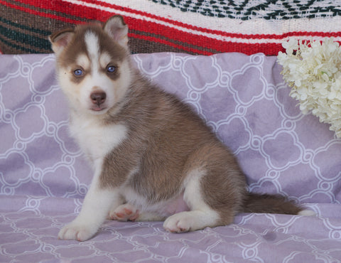 Siberian Husky For Sale Fredericksburg, OH Female- Crystal