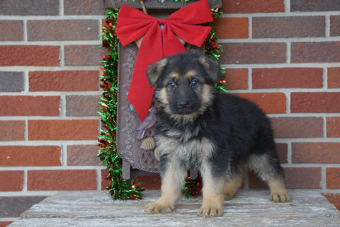 AKC Registered German Shepherd For Sale Millersburg, OH Male- Sarge