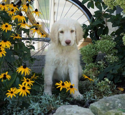 Labradoodle For Sale Sugarcreek, OH Female- Lady Abigail *Special Needs*