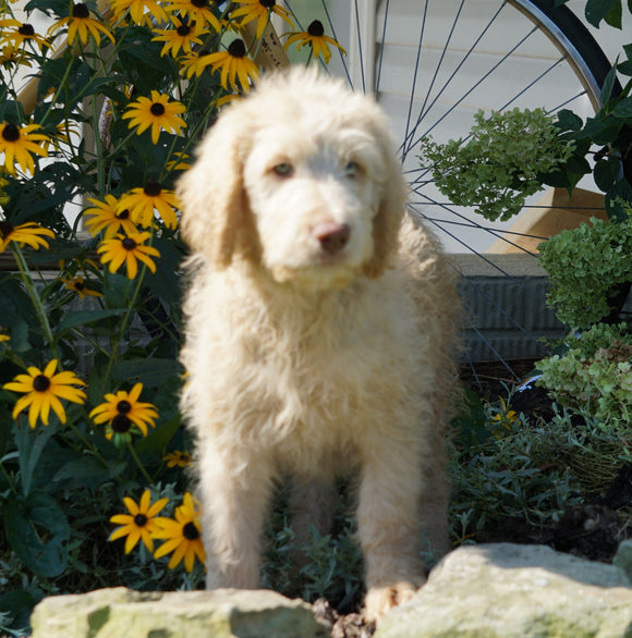 Labradoodle For Sale Sugarcreek, OH Female- Ursula