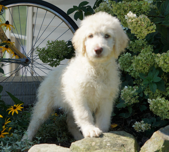 Labradoodle For Sale Sugarcreek, OH Female- Helen