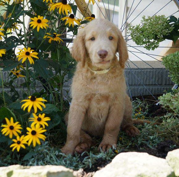 Labradoodle For Sale Sugarcreek, OH Male- Carl