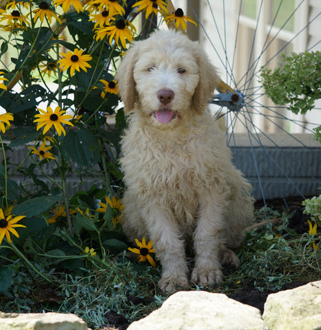 Labradoodle For Sale Sugarcreek, OH Female- Lacey