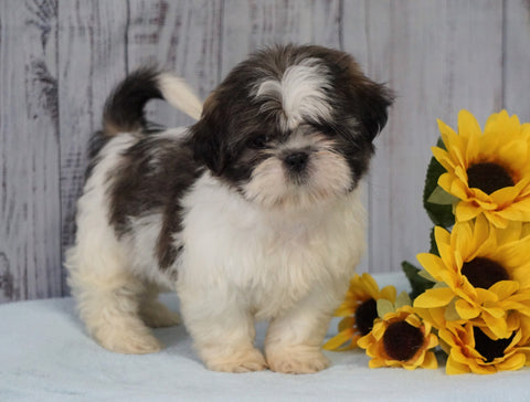 Shih Tzu For Sale Warsaw, OH Female - Brooklyn