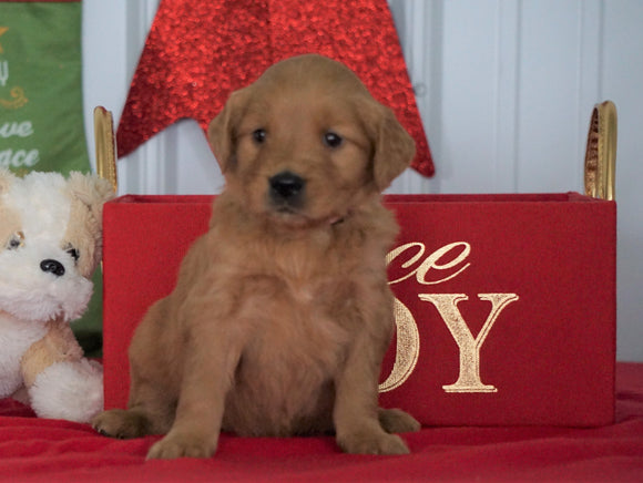 AKC Registered Golden Retriever For Sale Loudenville OH, Female - Joy