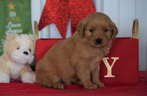 AKC Registered Golden Retriever For Sale Loudenville OH, Female - Lacey