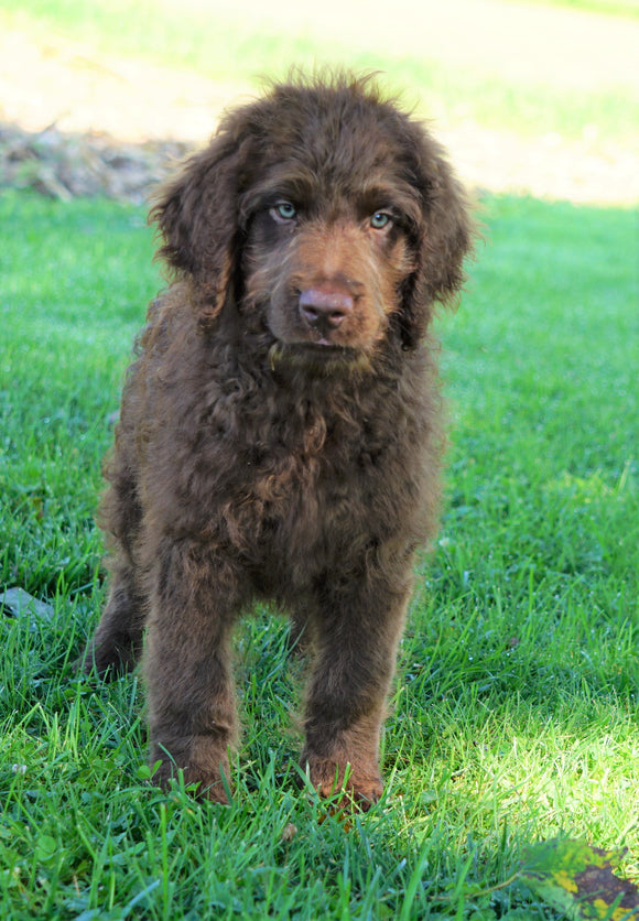 Labradoodle For Sale Sugarcreek, OH Male- Cody