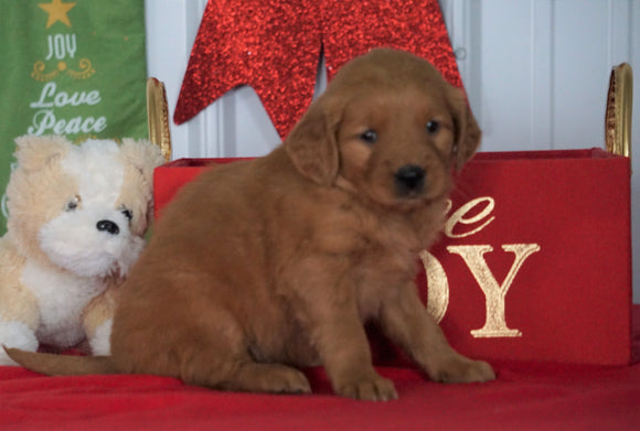 AKC Registered Golden Retriever For Sale Loudenville OH, Female - Sofia