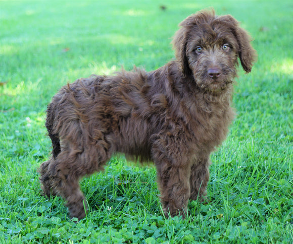 Labradoodle For Sale Sugarcreek, OH Female- Sylvia