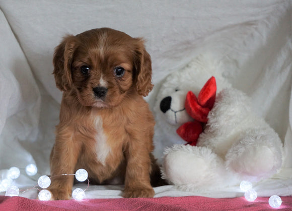AKC Registered Cavalier King Charles Spaniel For Sale Holmesville, OH Female- Ashley