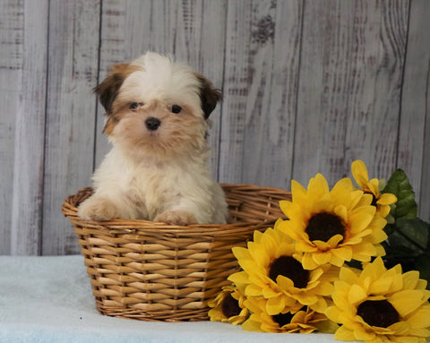 Shih Tzu For Sale Warsaw, OH Female - Ellie
