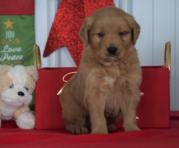 AKC Registered Golden Retriever For Sale Loudenville OH, Male - Cole