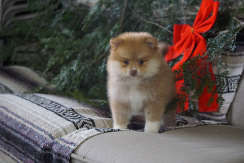ACA Registered Pomeranian For Sale Millersburg, OH Female- Cinnamon