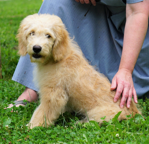 Mini Goldendoodle For Sale Fredericksburg, OH Male- Shoba