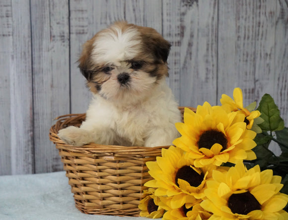 Shih Tzu For Sale Warsaw, OH Male - Rowdy