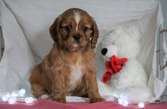 AKC Registered Cavalier King Charles Spaniel For Sale Holmesville, OH Female- Amber