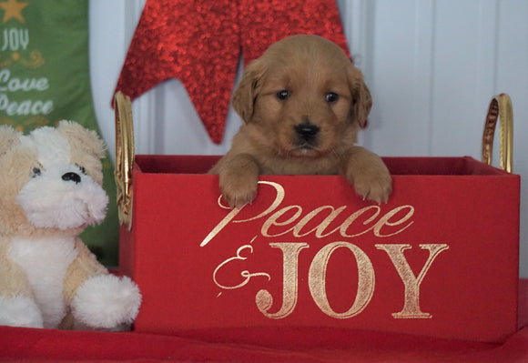 AKC Registered Golden Retriever For Sale Loudenville OH, Female - Charity