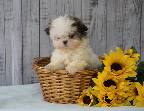 Shih Tzu For Sale Warsaw, OH Female - Juliet